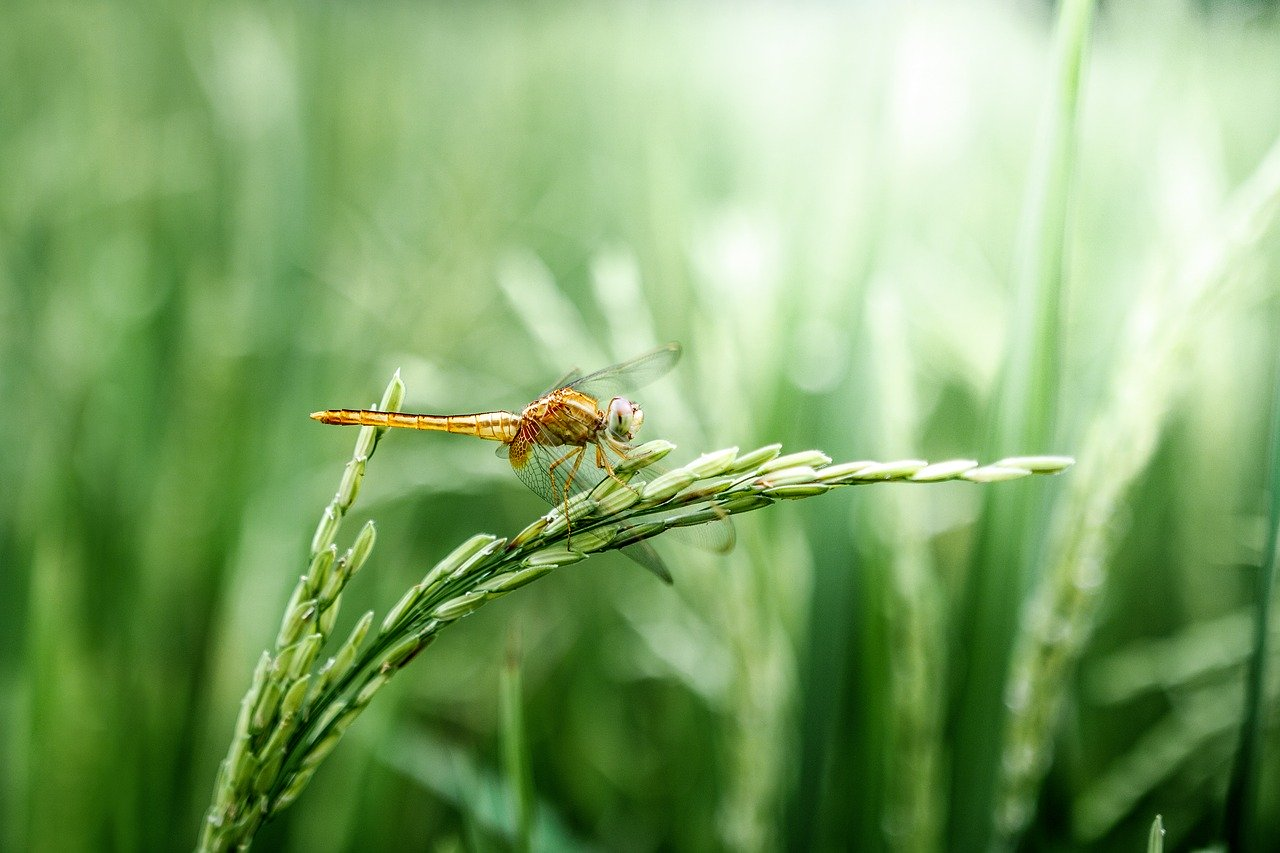 dragonfly, grain, green