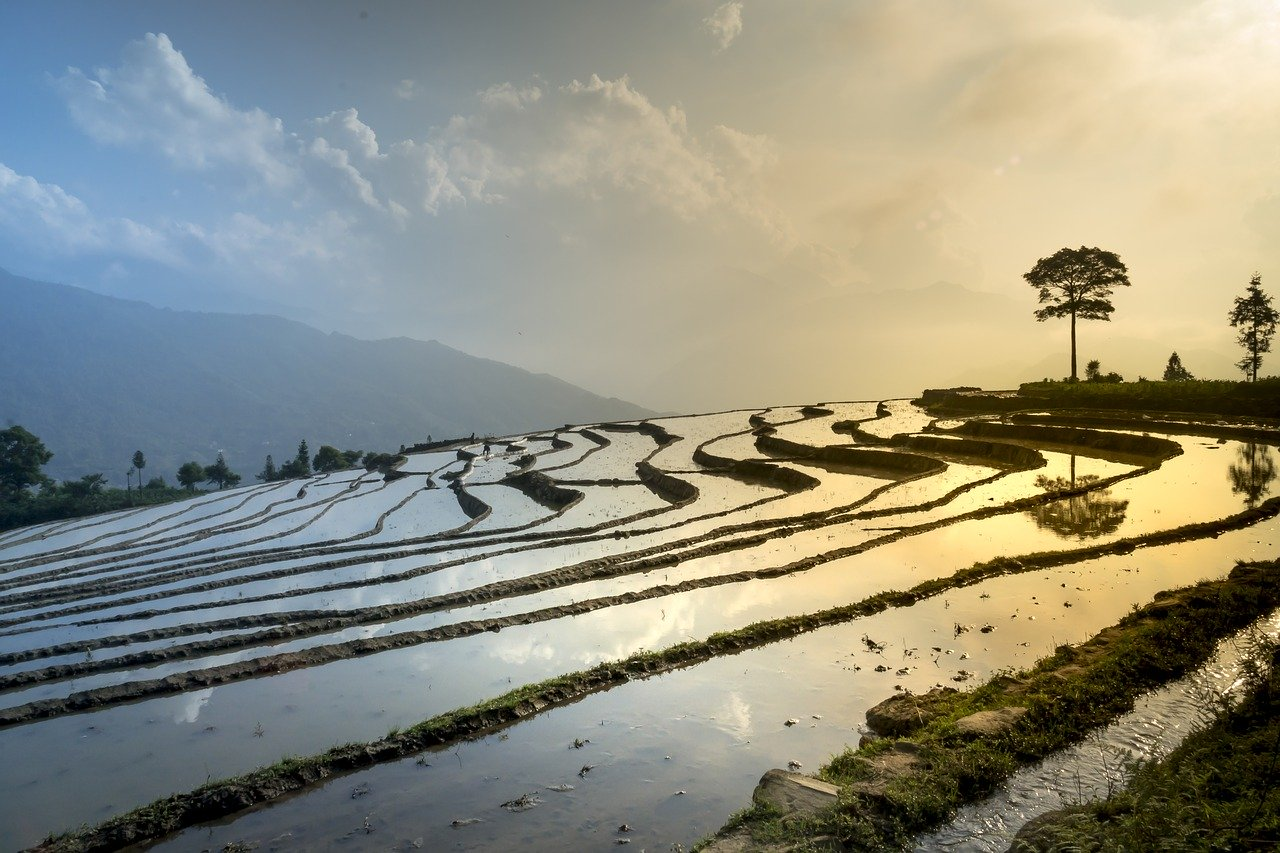 rice field, nature, landscape