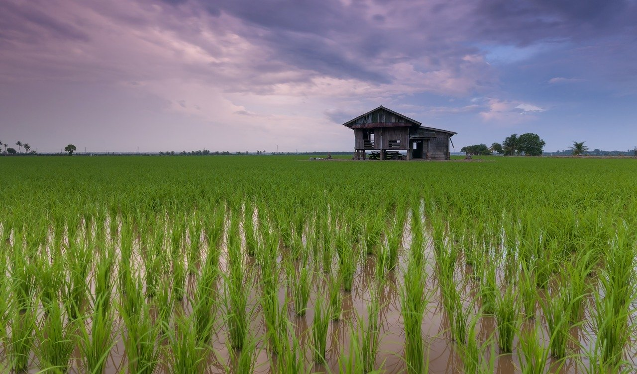 beautiful, cottage, rice field