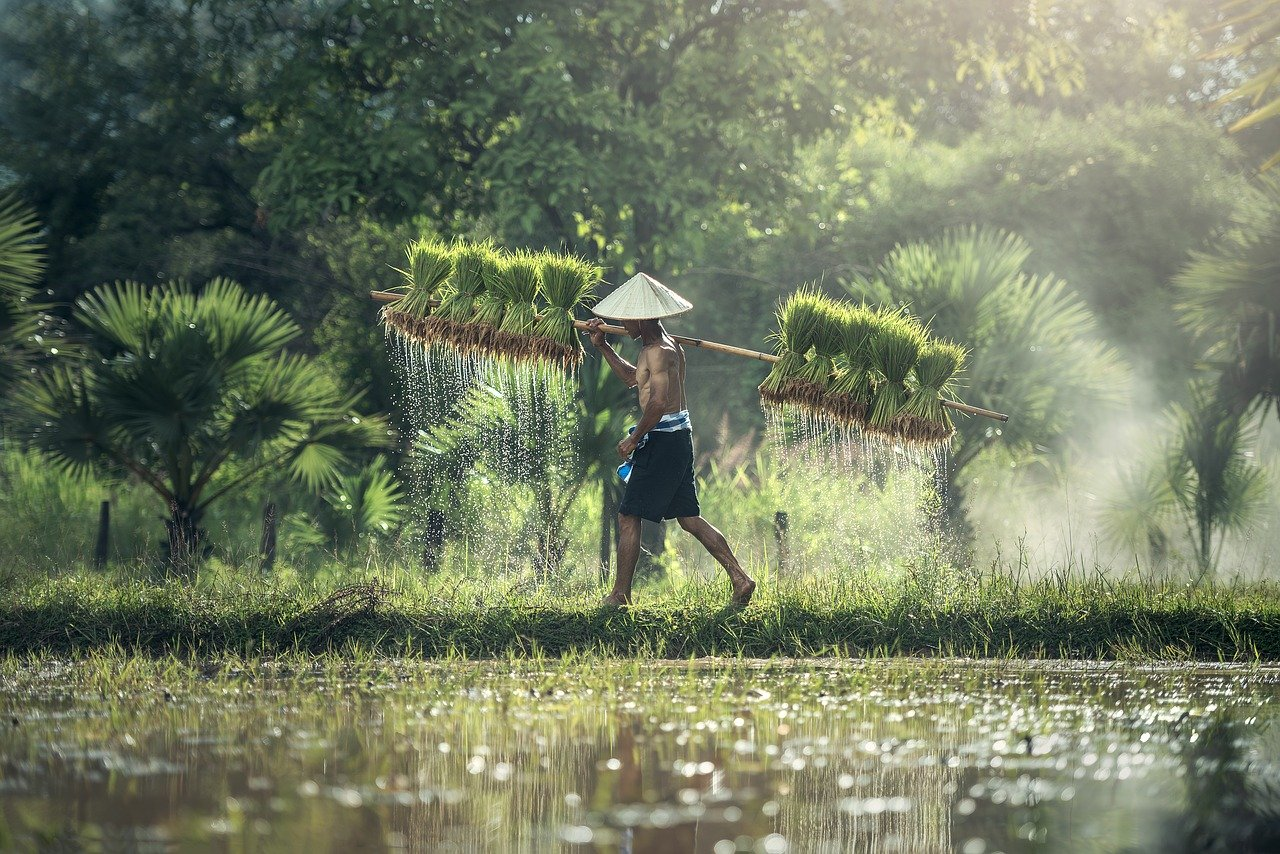 agriculture, rice, harvesting
